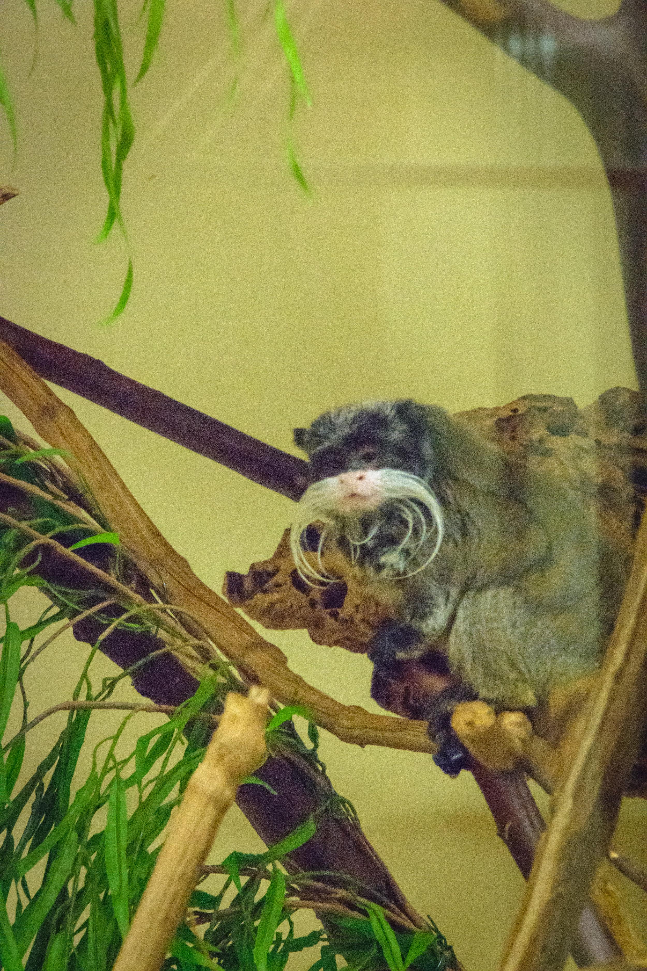 a mustachioed yet sad chimp