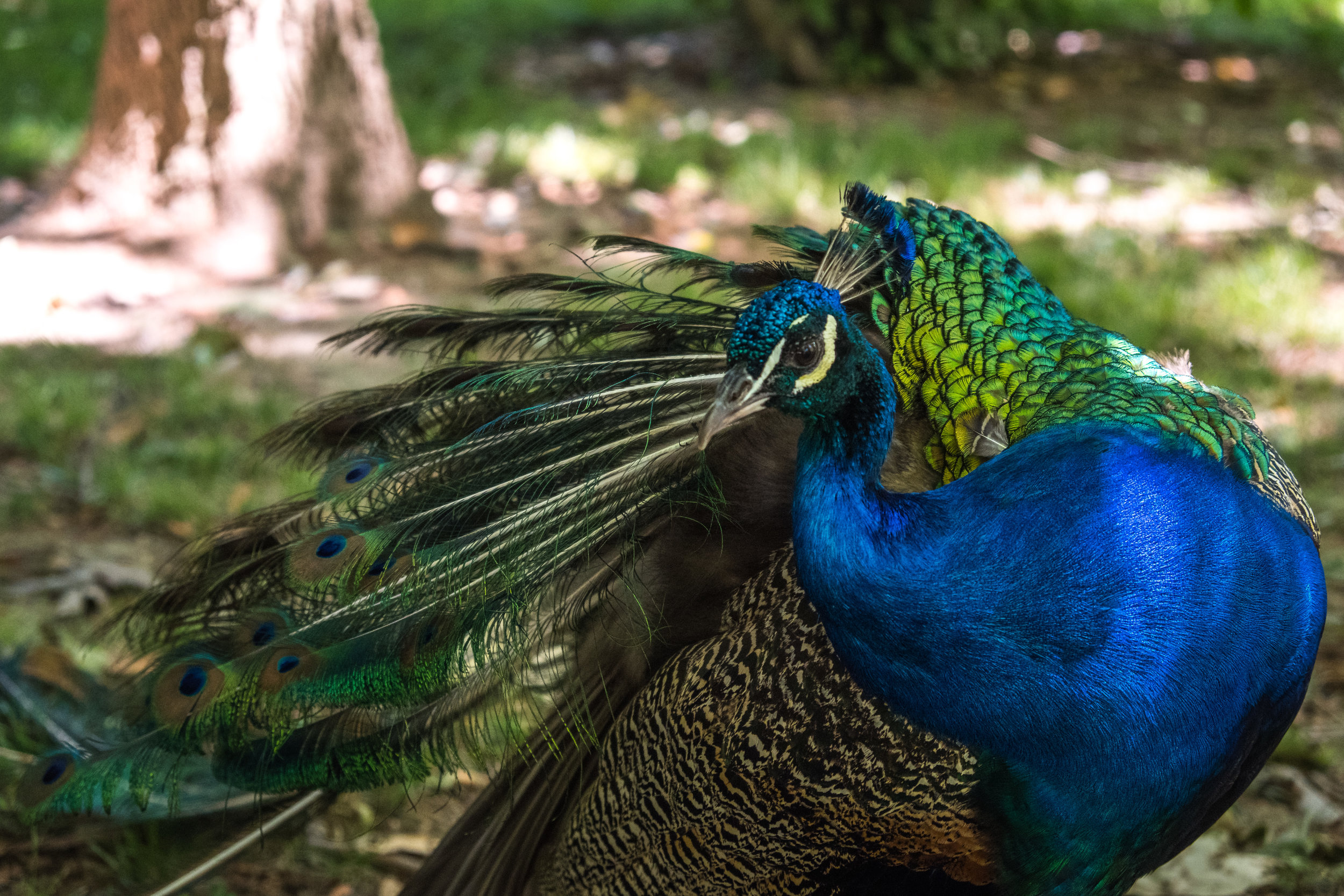 one of the many elegant peacocks roaming the grounds