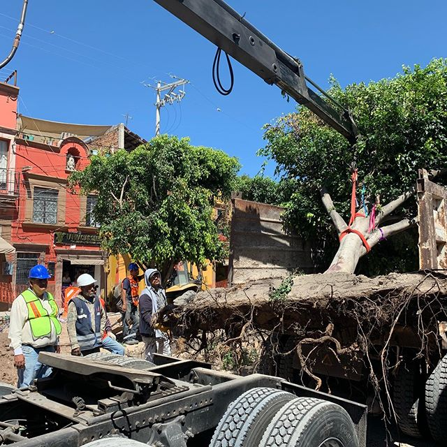 "In reflection of the tragic removal of street trees in San Miguel de Allende by an overbearing local government, I've recently posted ""The root of the problem"" to the blog: http://www.myradiantcity.com/blog/2019/10/14/the-root-of-the-problem @sanmigueldeallende @salvemos41arboles"