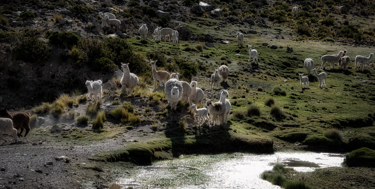 Vicuña lambs in the southern Peru highlands, on the road to Colca Canyon.
