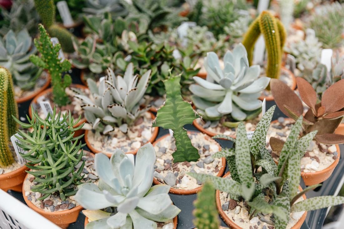 Wellstruck Lady Boss | Succulents at Vault + Vine