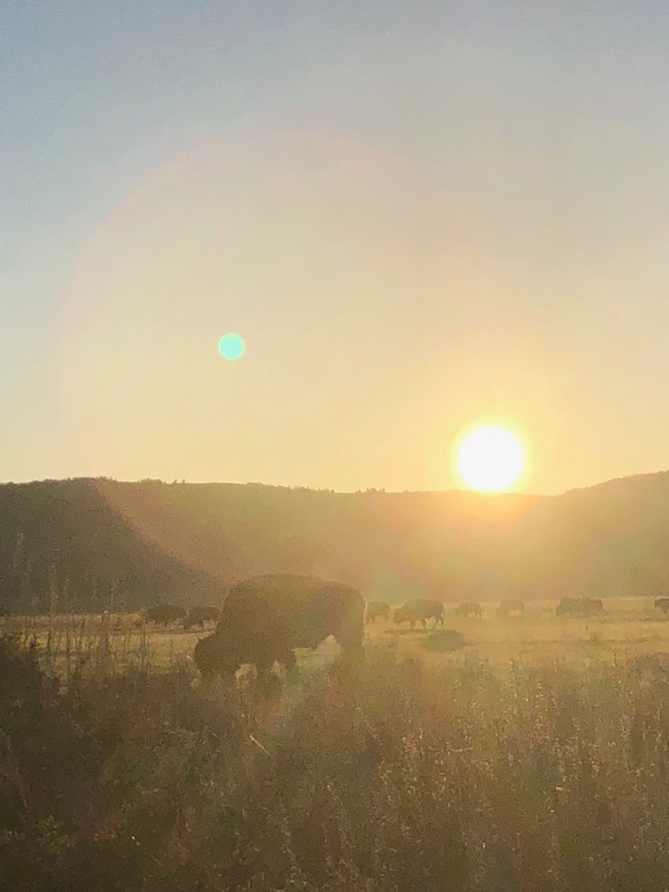 Bison at sunrise in Grand Teton National Park