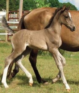Gaited foal
