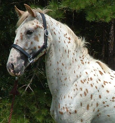Gaited horse neck conformation