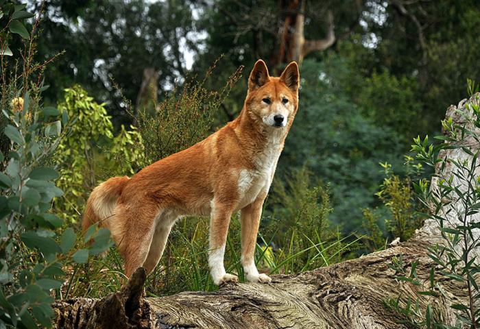 Dingo, Perro Salvaje Australiano