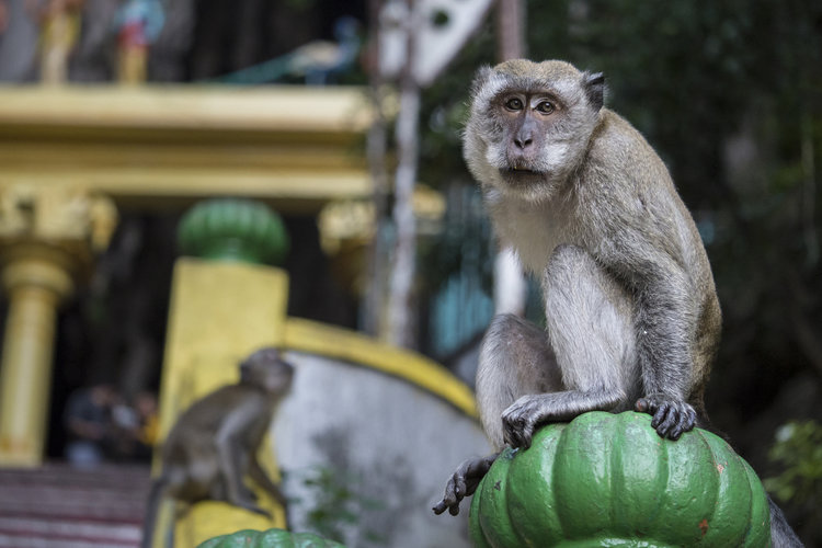 Monkeys in Batu Caves