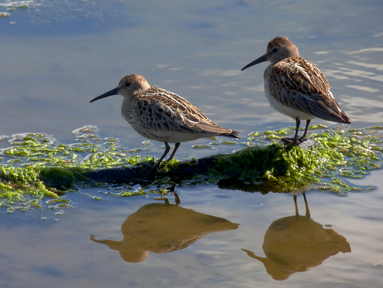 dunlins at pulias in august