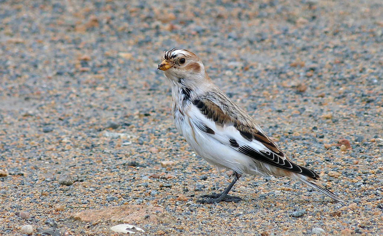 snow bunting at vazon in october