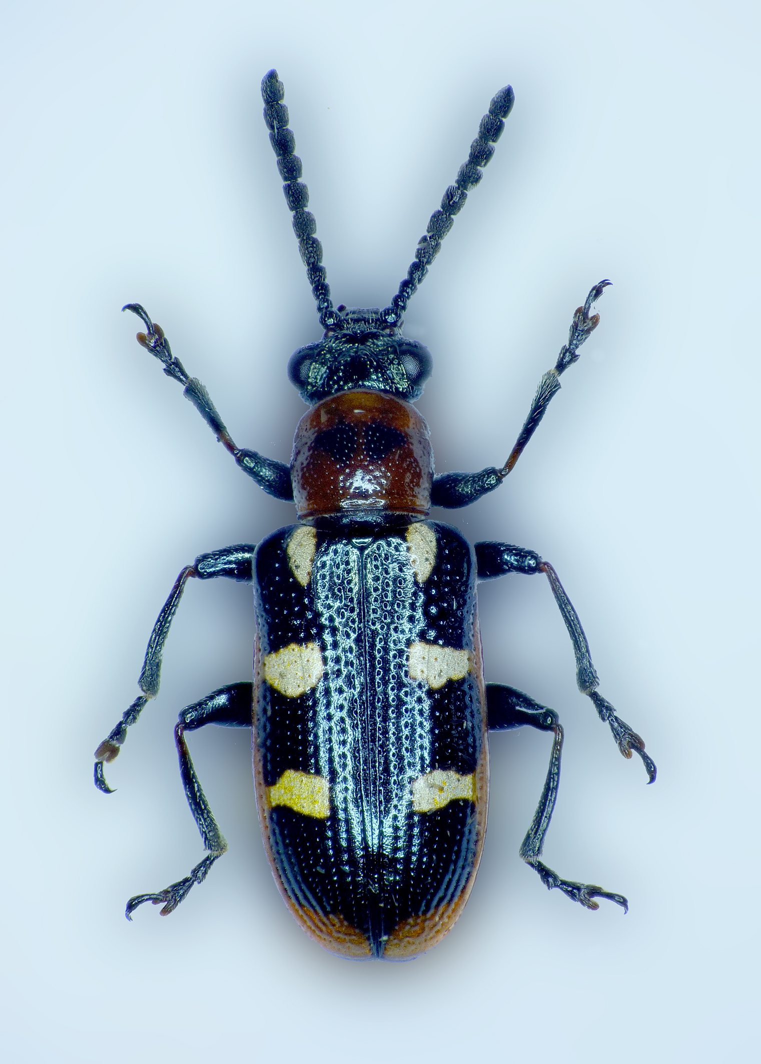 Asparagus Beetle specimen - garden - autumn 2015 - still trying out the photo-stacking software. It looks great for photos of specimens, but rather tricky for live critters!