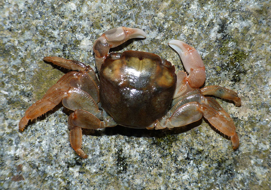 Columbus Crab  - Portinfer - 11 Feb 2016 - this small crab was found, unfortunately dead, in another bunch of Goose Barnacles. This is a tropical species that is only ever recorded here by drifting on flotsam.