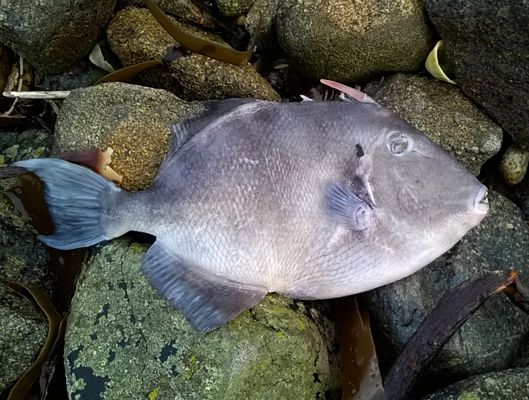 Grey Triggerfish  - Pulias - 9 Feb 2016 - recently dead.