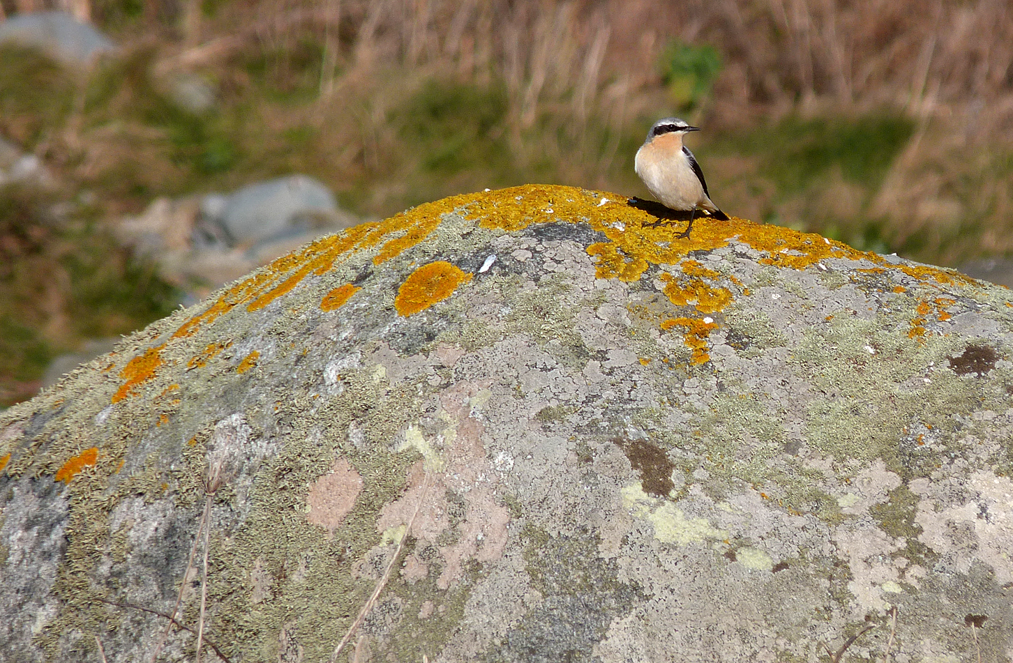 the year's first  wheatear  - pulias - 21 mar 2016