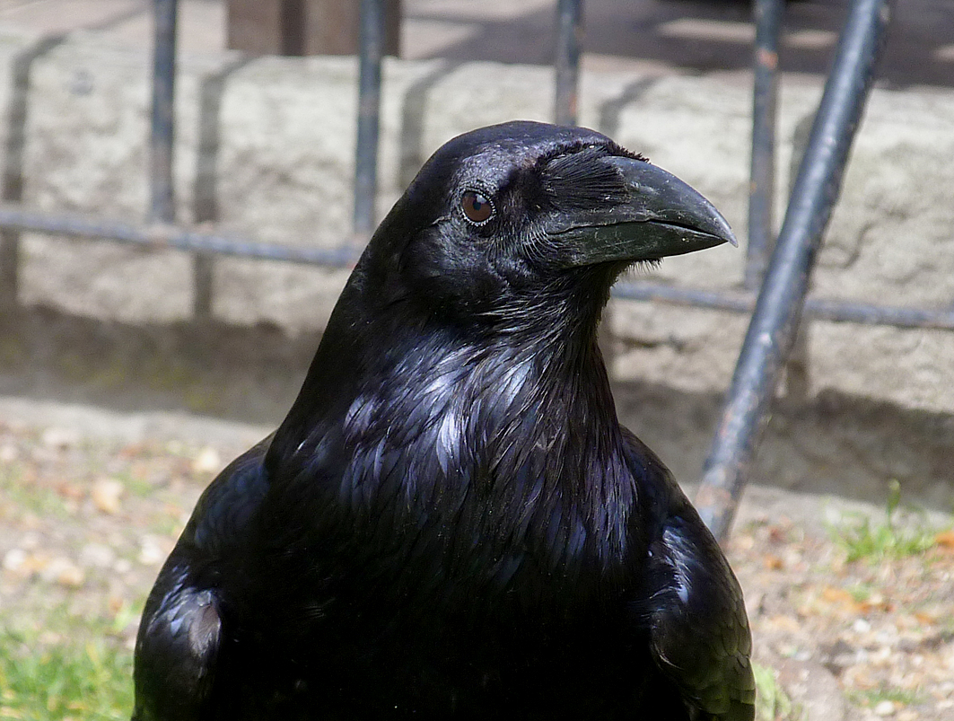 A Tower  Raven  - (potential split?)