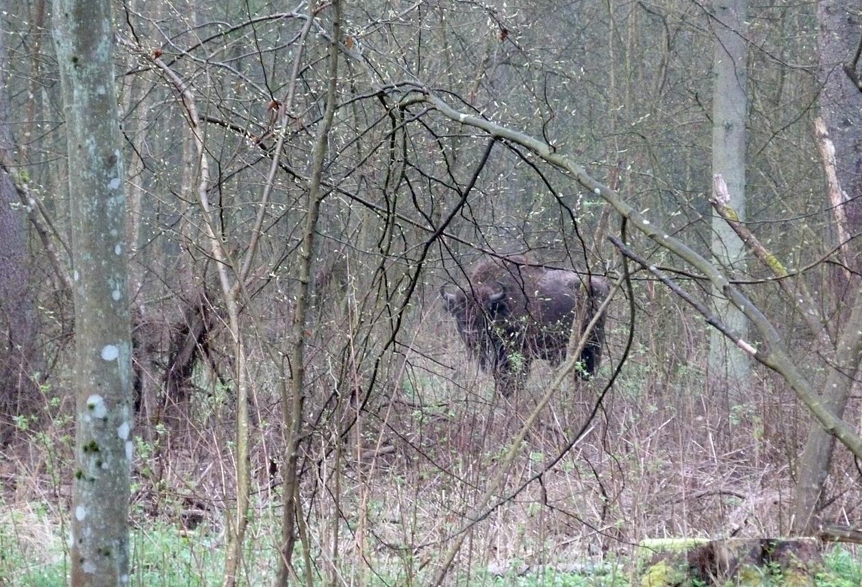 Bison  - Bialowieza Forest