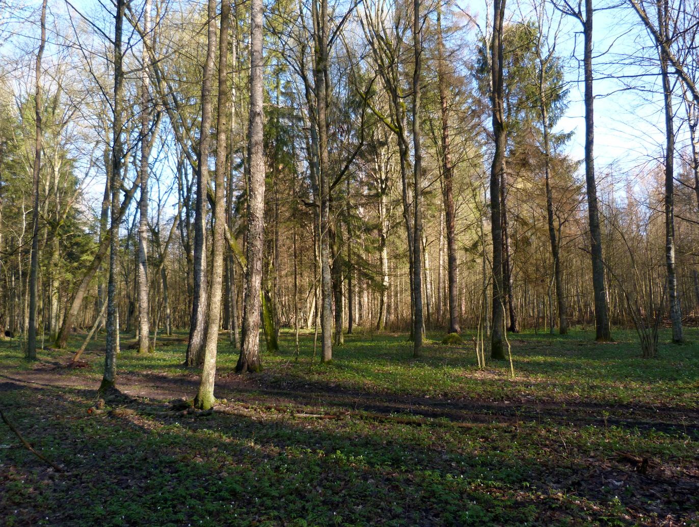 Deep in the forest - Hazel Grouse habitat