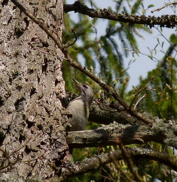 Grey-headed Woodpecker - Bialowieza Forest