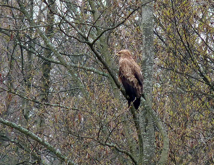 Lesser Spotted Eagle  - near Bialowieza town