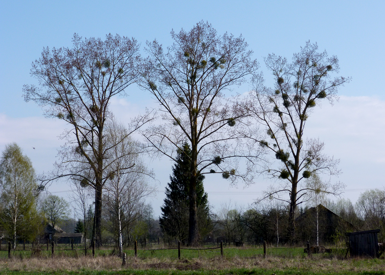 The trees in Poland were covered in clumps of  Mistletoe , a rare sight in the UK nowadays.