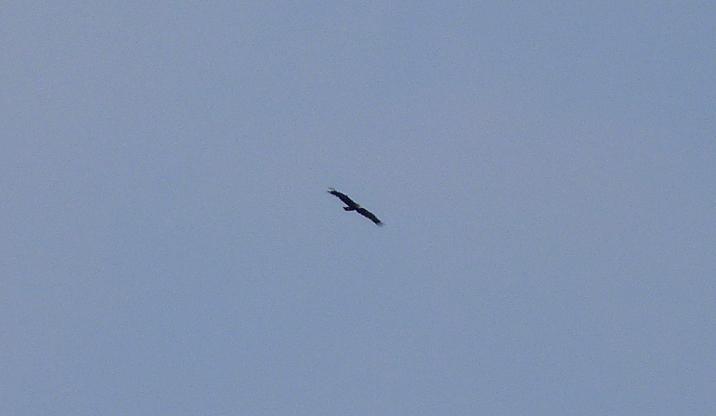 GREATER Spotted Eagle , Siemanowka Reservoir.