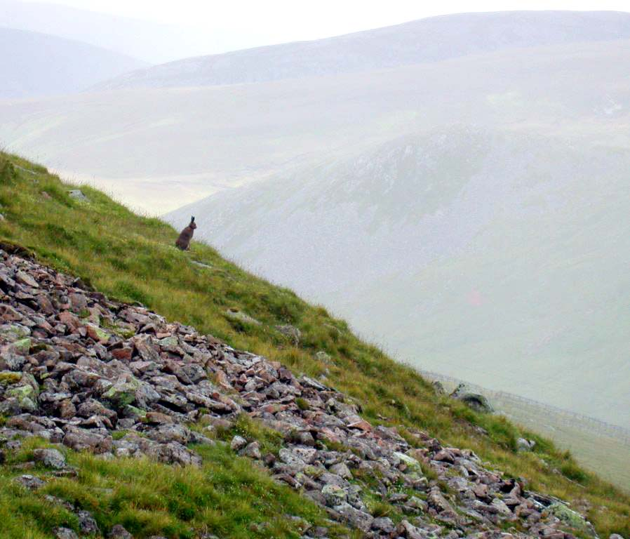 MOUNTAIN HARE - GLENSHEE