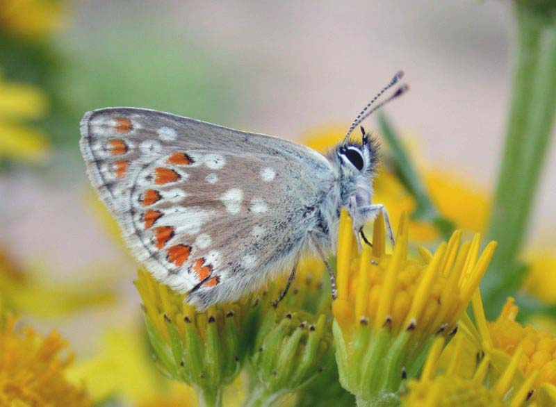 NORTHERN BROWN ARGUS - KEILOCH