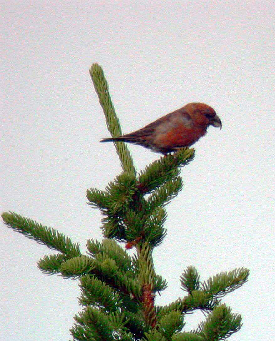 PROBABLE OR POSSIBLE SCOTTISH OR PARROT CROSSBILL - KEILOCH