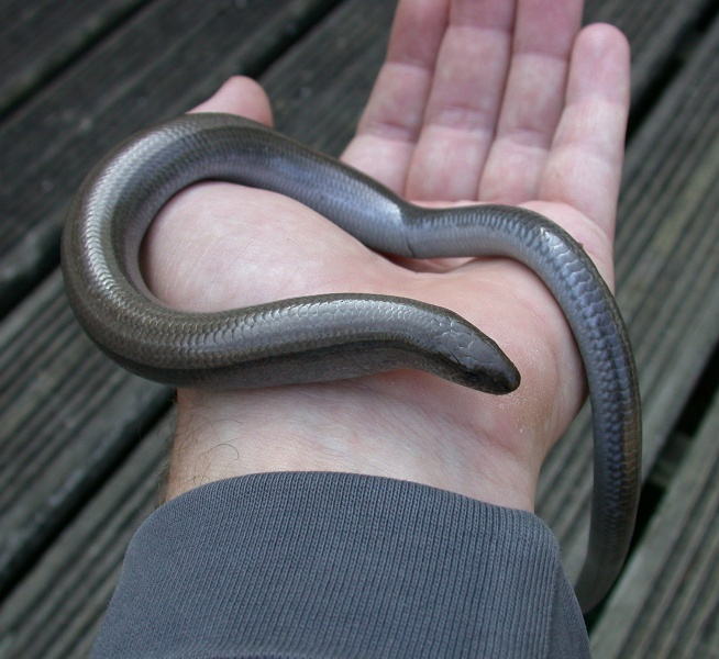 SLOW WORM IN THE GARDEN