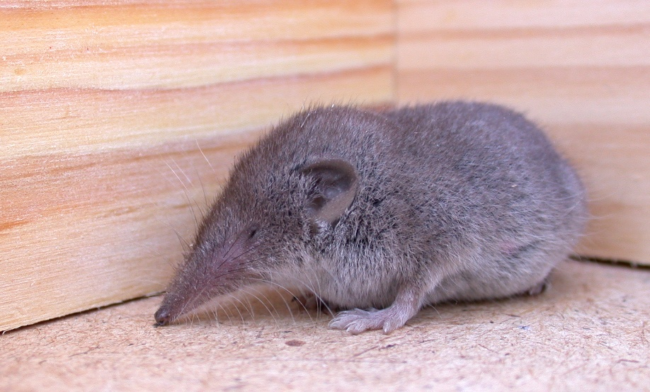 GREATER WHITE-TOOTHED SHREW IN THE GARDEN