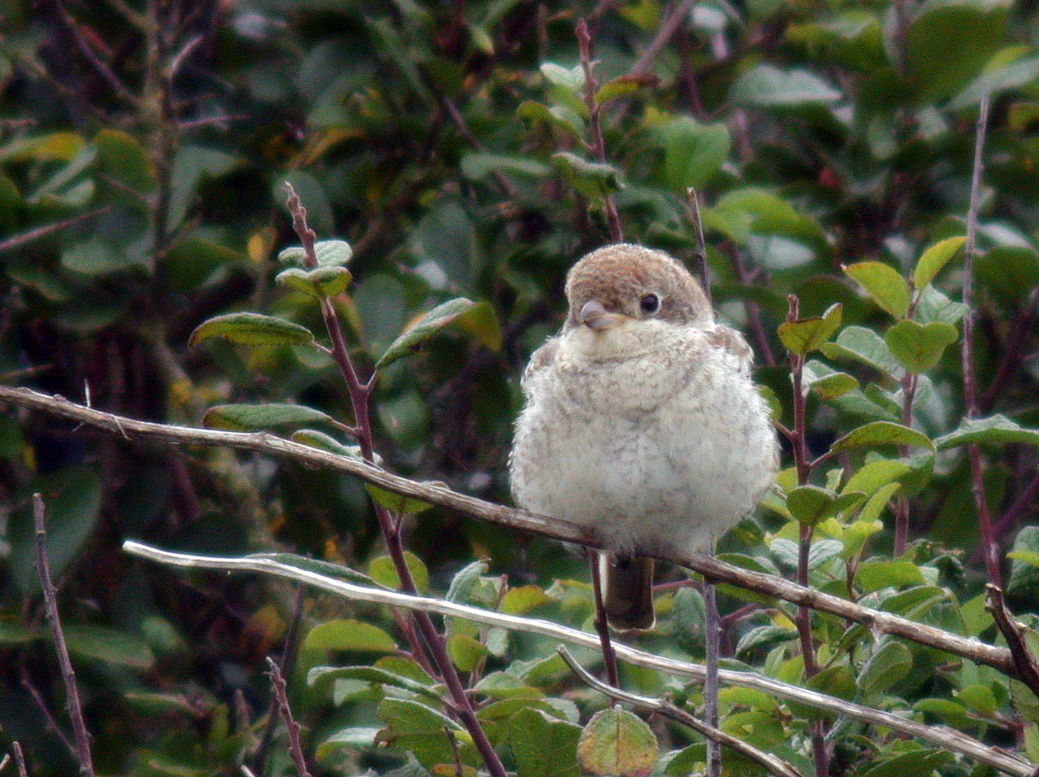 woodchat shrike - mont herault - 30 aug 09