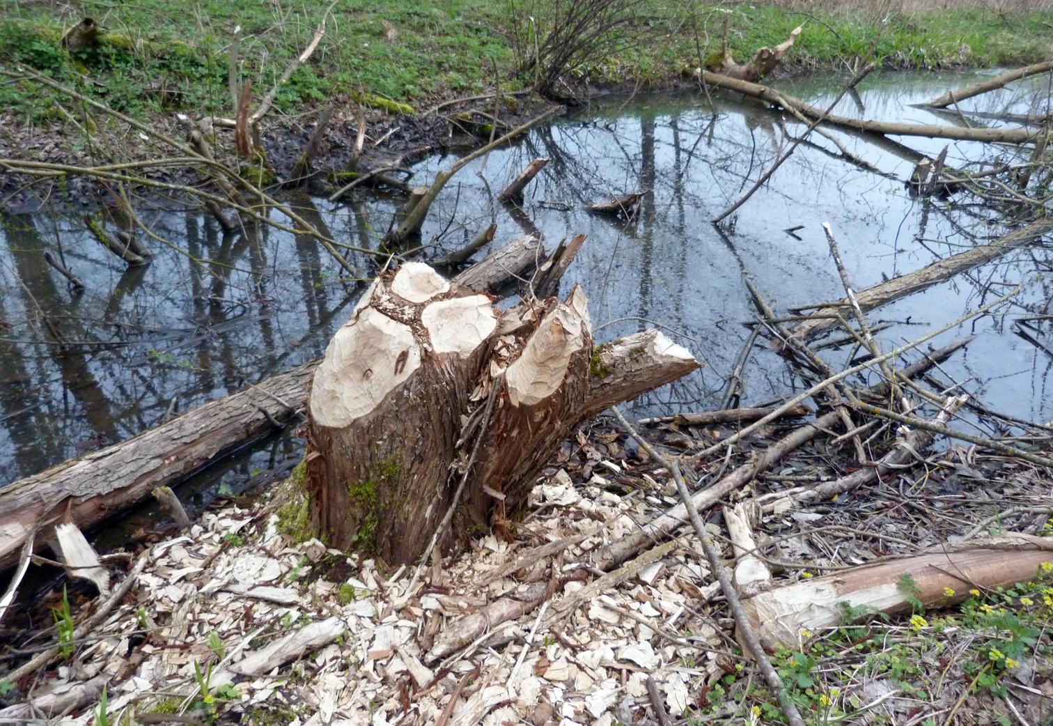 Here be Beavers!