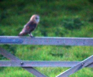 rather a dark-coloured barn owl