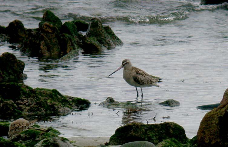 bar-tailed godwit - jaonneuse