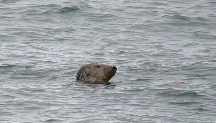 grey seal - jaonneuse