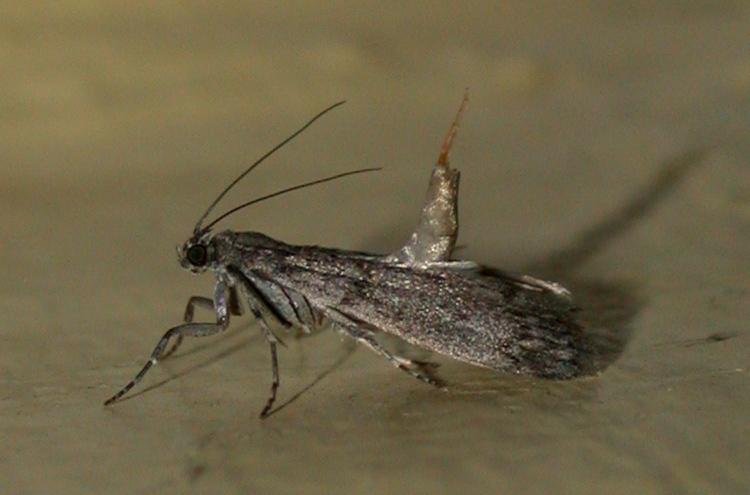 mediterranean flour moth - inside the house