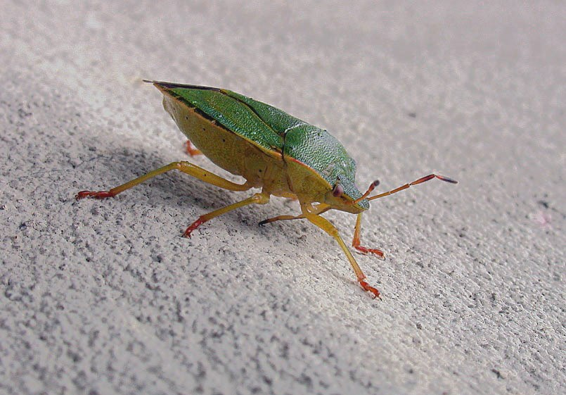 common green shieldbug - garden