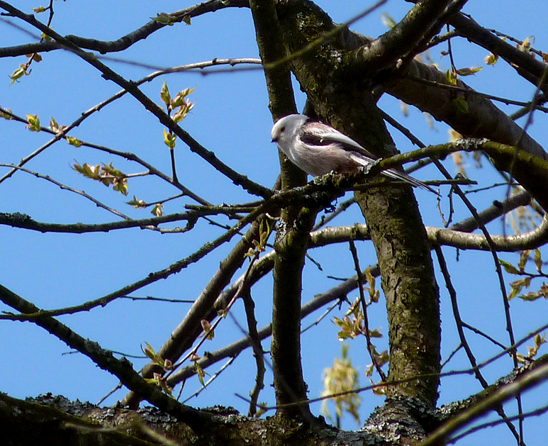 White-headed Long-tailed Tit - Bialowieza Town Park