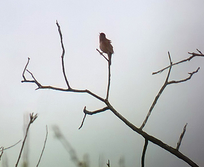 Savi's Warbler - Barwik