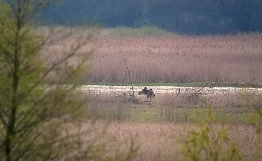 There's a Moose loose about this eastern European wetland reserve.