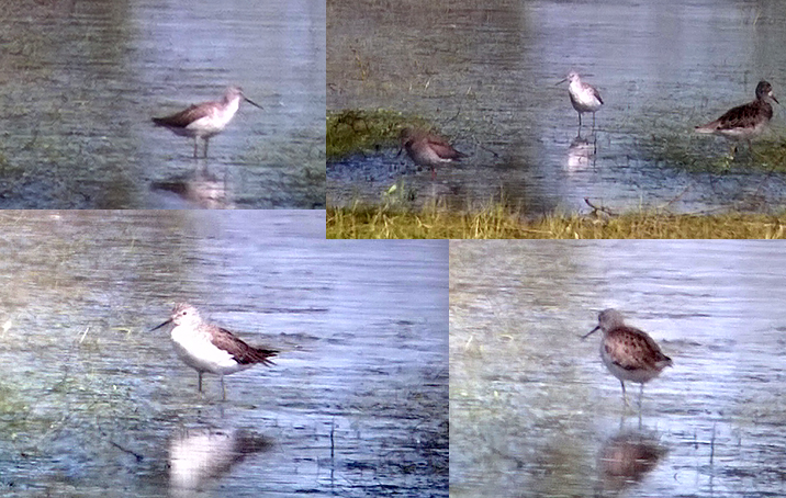 Marsh Sandpiper - (phonescoped) - Brzostowo