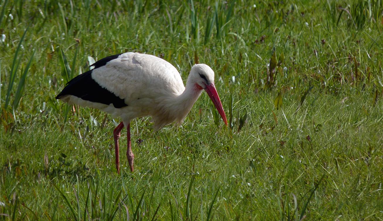 White Stork - Biebrza Marshes