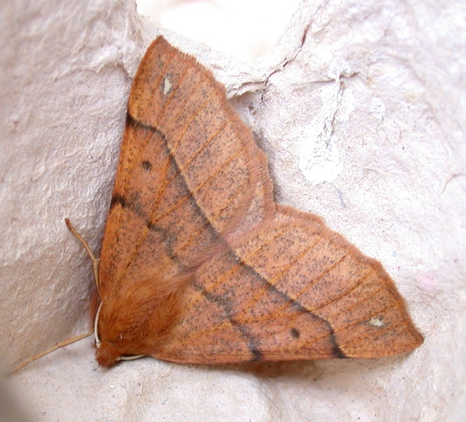Feathered thorn - garden