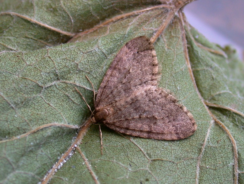 winter moth - garden