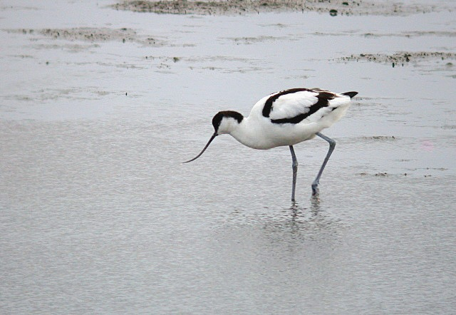 avocet - l'eree - 7 jan 10