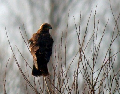 marsh harrier - grand pre - jan 10