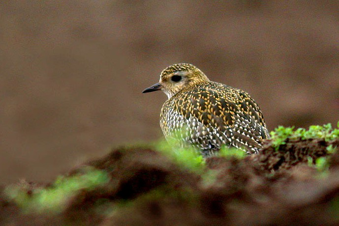 golden plover - reservoir - feb 10