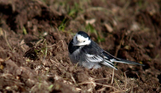 pied wagtail - fauxquets - feb 10