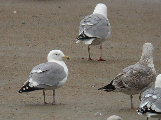 dark-eyed herring gull - rousse - feb 10