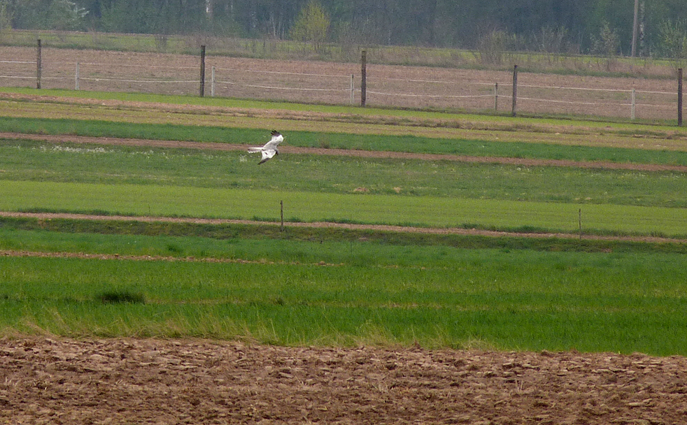 male Montagu's Harrier - near Tykocin