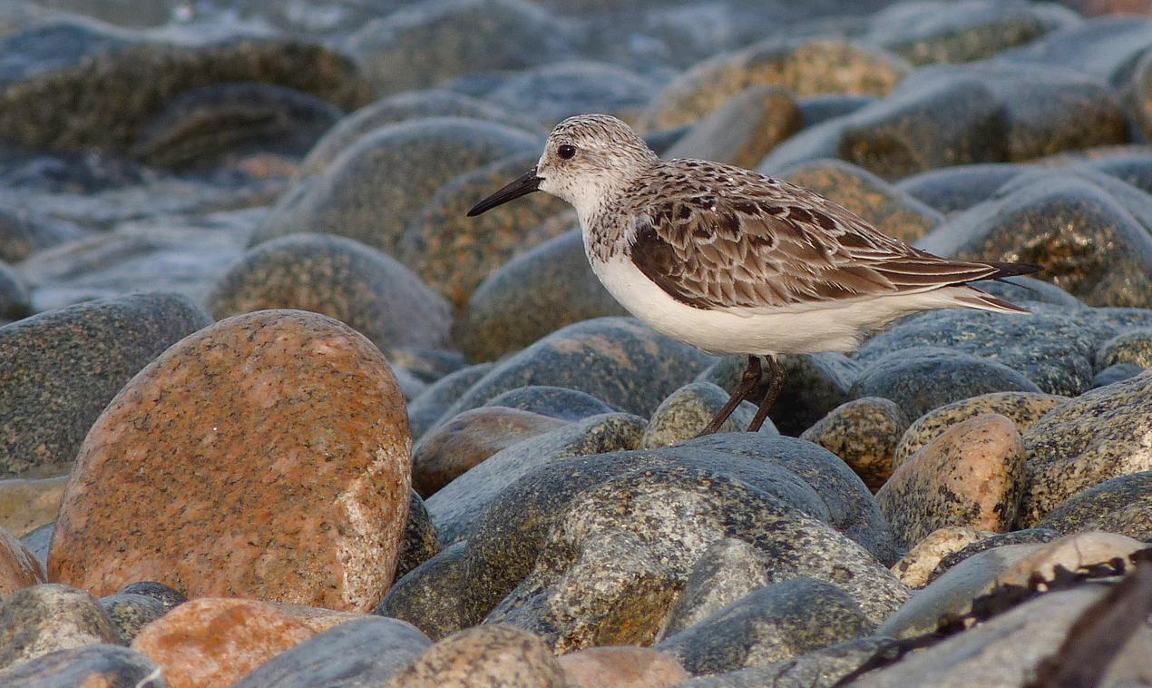 sanderling - Grandes Havres - 6 May 16