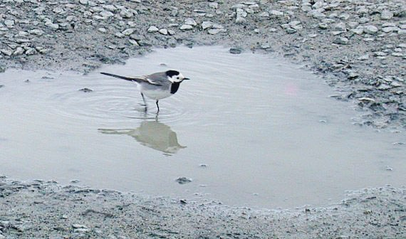 White Wagtail - Jaonneuse - 5 Apr 10